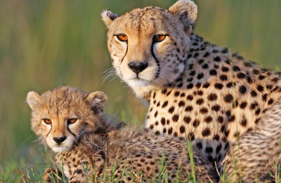 Natural History Prints  Honours:  Graeme Guy, Christchurch  'Cheetah Surveillance'