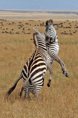 Natural History Projected Images  Honours:  Graeme Guy, Christchurch  'Zebra Battle'
