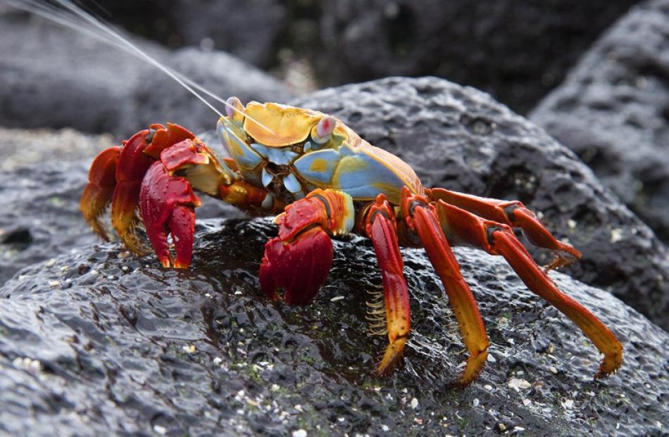 Natural History Prints  Honours:  Ken Trevathan, Dunedin  'Sally Lightfoot Crab excreting'