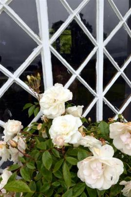 White roses make a striking display along the side of the former church.
