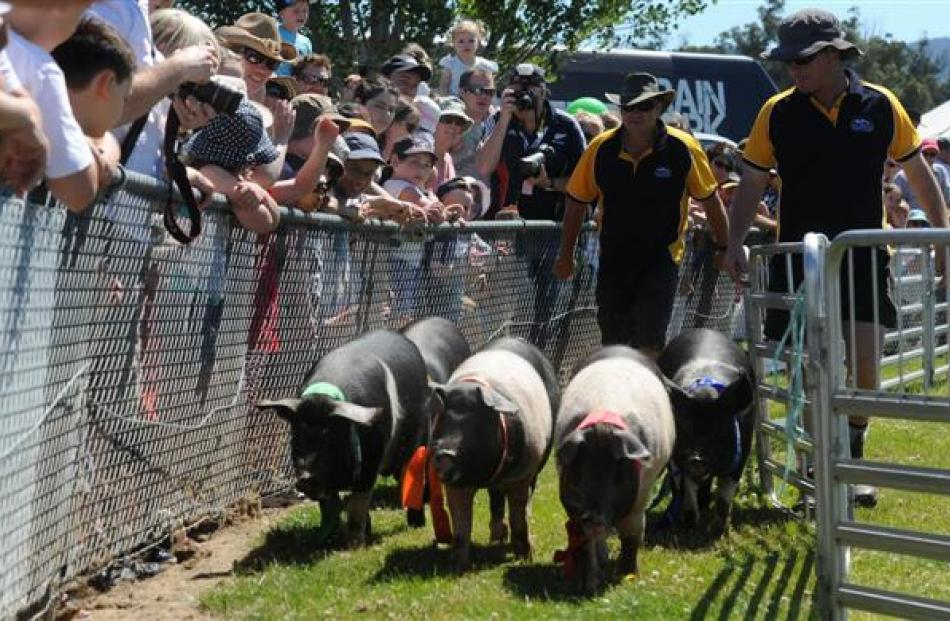 The crowd watches as five reluctant pigs make their way up the chute during the pig racing.