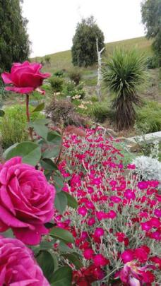 Blackberry Nip rose and rose campion combine for a splash of colour in the 'rosealea garden'.
