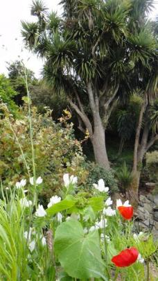 The cabbage tree rescued from the predations of old man's beard forms the centrepiece of an...