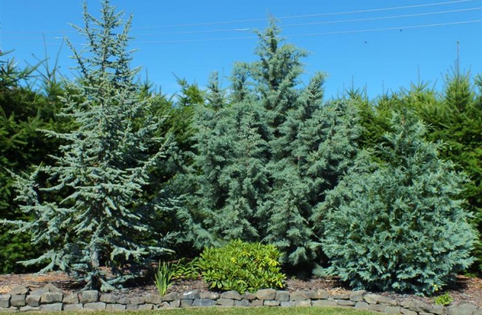 A selection of blue conifers looks good year-round.