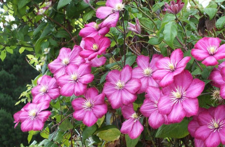 A late-flowering clematis in the Reid garden.
