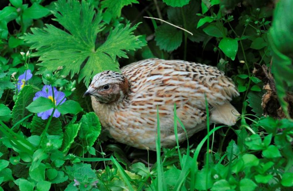 Quails and other birds can be kept in Dunedin gardens, as long as they do not generate offensive...