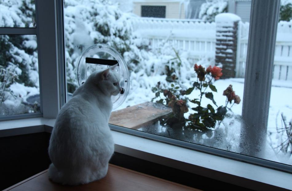 Reader photo by Blair Hughson in Mornington this morning as Peaches the cat braves the cold