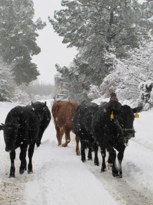 Moving cattle near Lake Hawea.