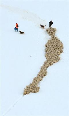 Sheep are driven through deep snow on Waipori Station, near Lake Mahinerangi, to lower ground...
