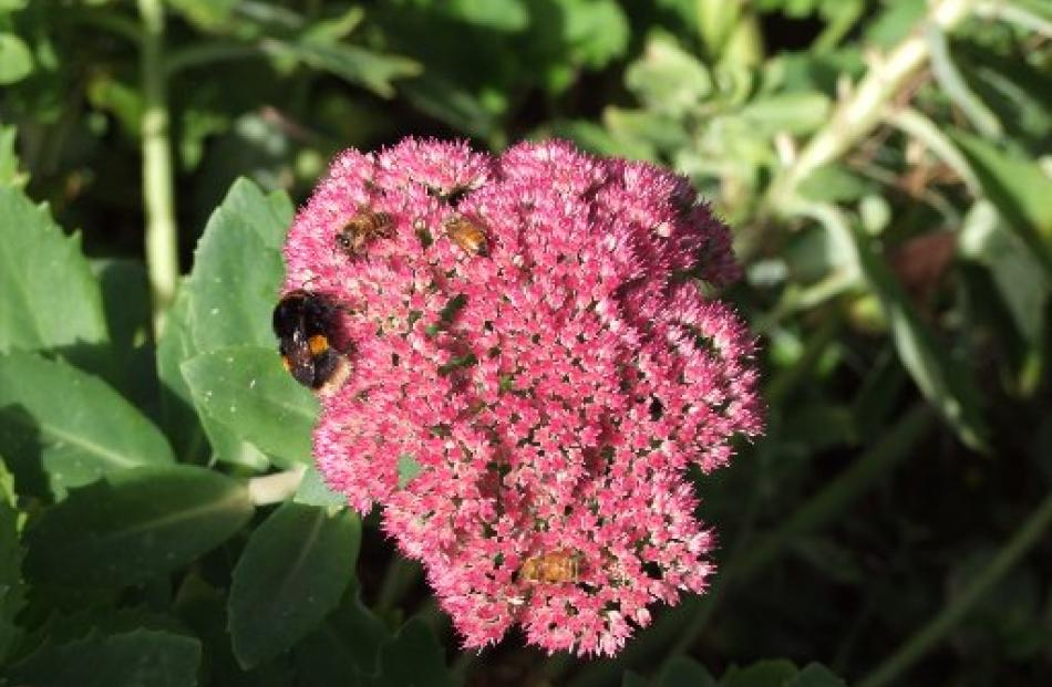 Sedum flowers attract bumblebees and honey bees.