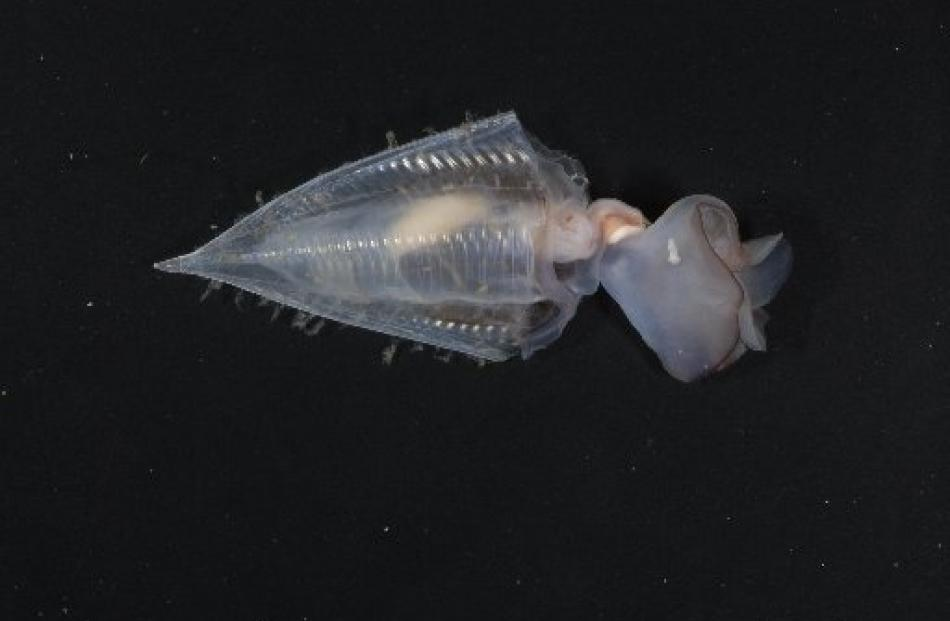 A pteropod or swimming snail. A more acidic ocean is expected to pose a threat to such marine...