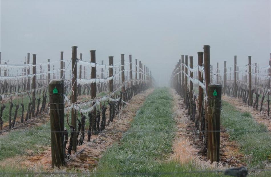 Icicles hang in an Alexandra vineyard yesterday morning after a night of frost-fighting. Photo by...