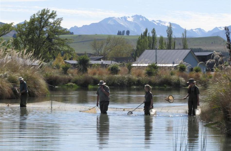 Otago Doc staff descend yesterday on a shoal of more than 100 goldfish found in a pond in Albert...