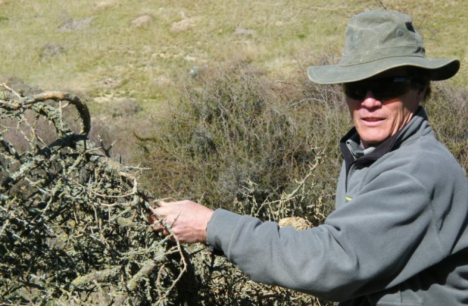 Doc ranger Graeme Loh fights back against  exotic African plant pest boxthorn, which threatens...