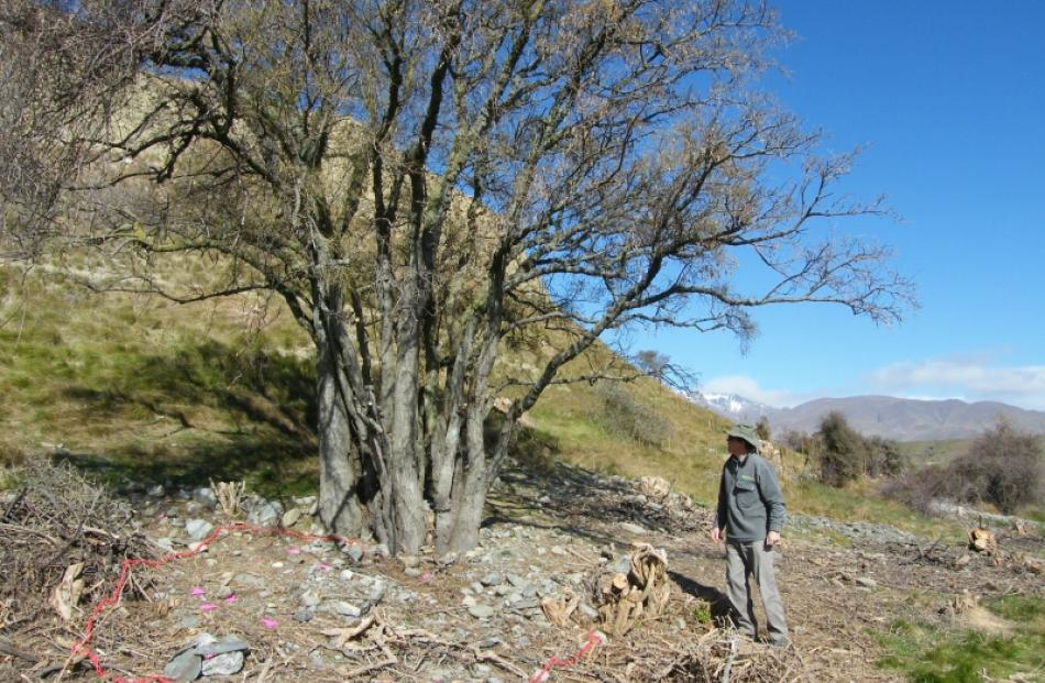 Mr Loh stands beneath a 100-year-old kowhai which has been recently cleared of boxthorn....