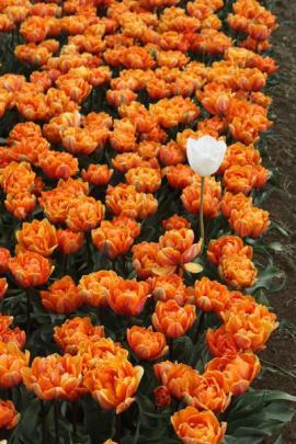 A lone white tulip in a sea of orange.