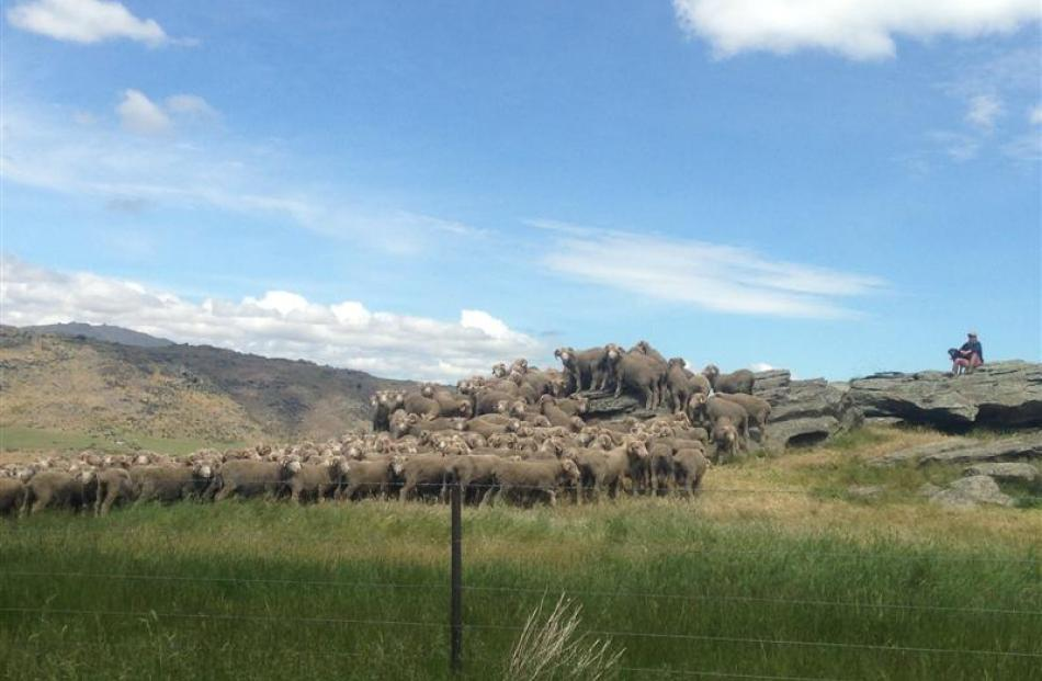 Merino sheep were on display during a field day at Earnscleugh Station last week. Photo by Aimee...