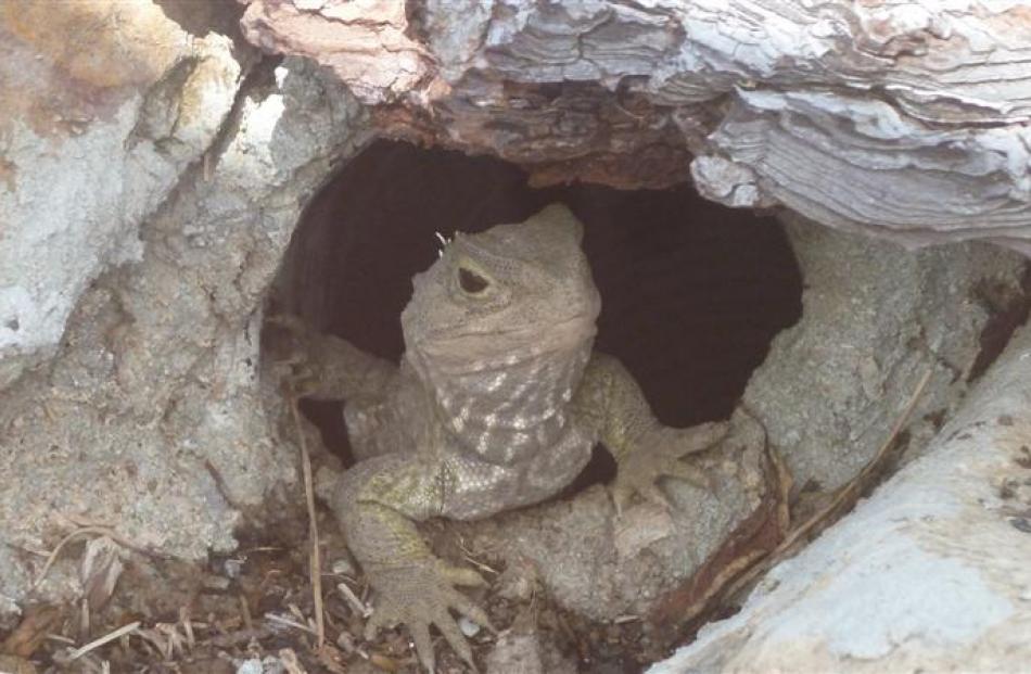 A tuatara on display in an Orokonui enclosure. Photo by Alyth Grant.