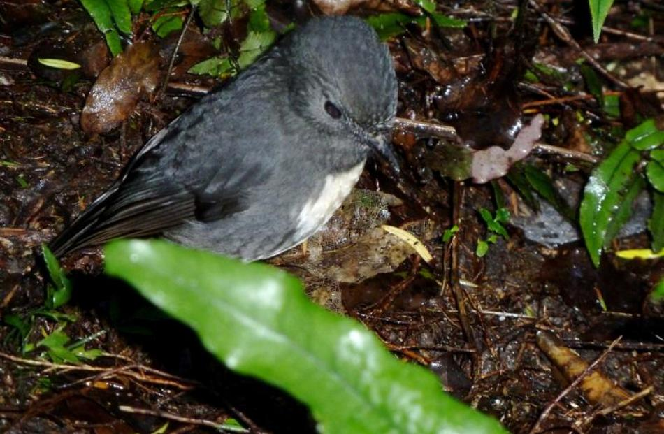 After two translocations, robins are now well-established at Orokonui. Photo by Alyth Grant.