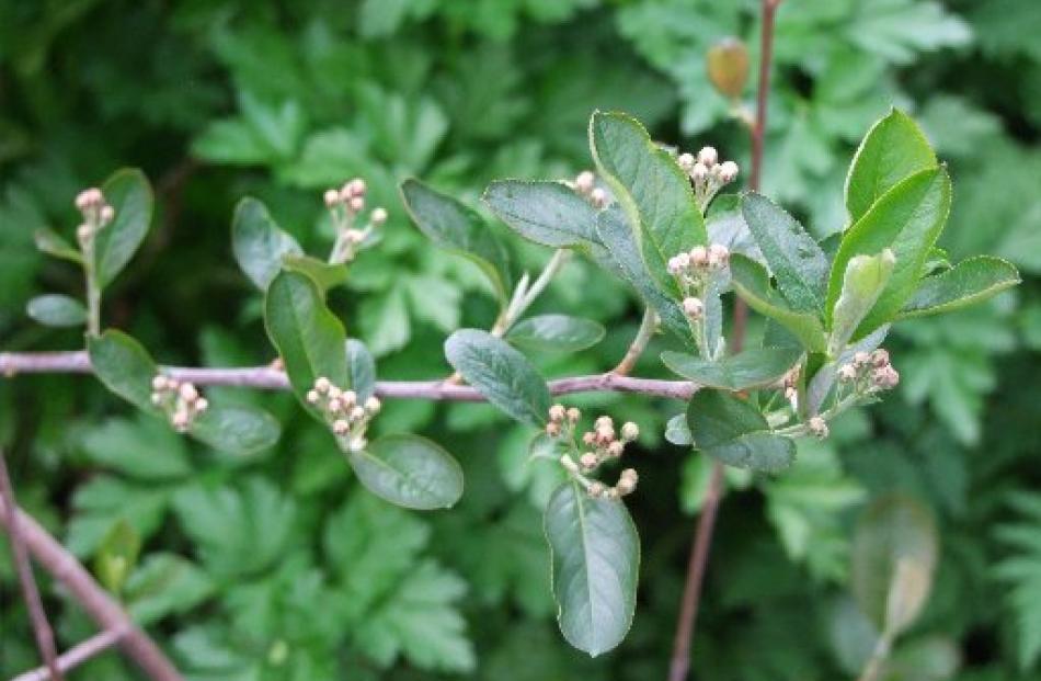 As well as edible fruit, the chokeberry  (Aronia melanocarpa) has showy autumn foliage.