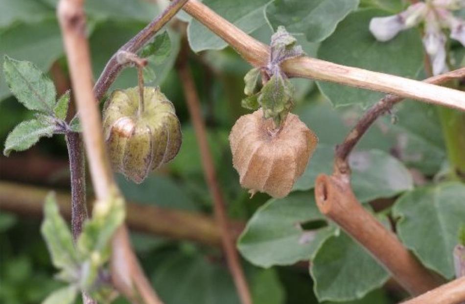 Cape gooseberries still fruiting in October.