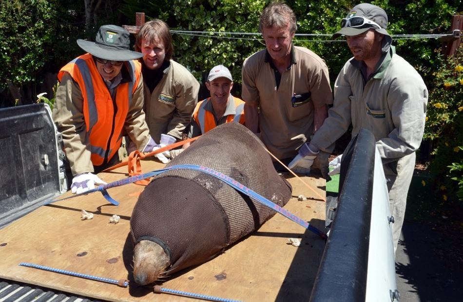 The seal, wrapped in a body sock net, is strapped to the back of a ute for transportation back to...