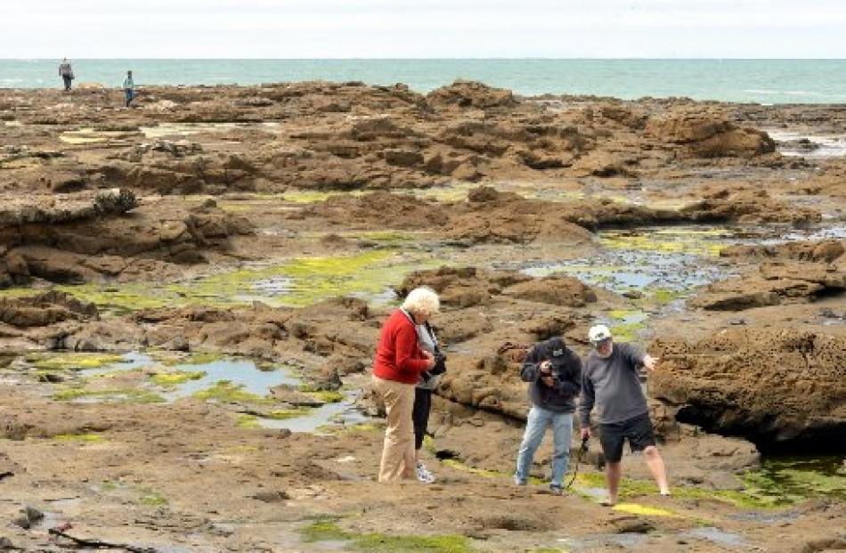 Petrified stumps and fern prints date back 160 million years at Curio Bay.