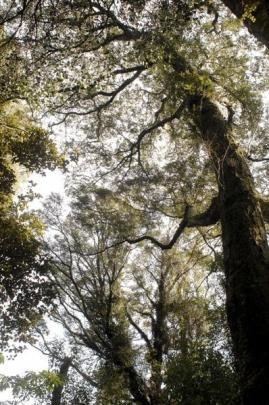 A Southland maple beech (Nothofagus Menziesii) forest.