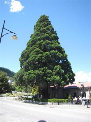 One of two sequoias, known as the Trees of Justice, planted in 1876 outside the  Queenstown...