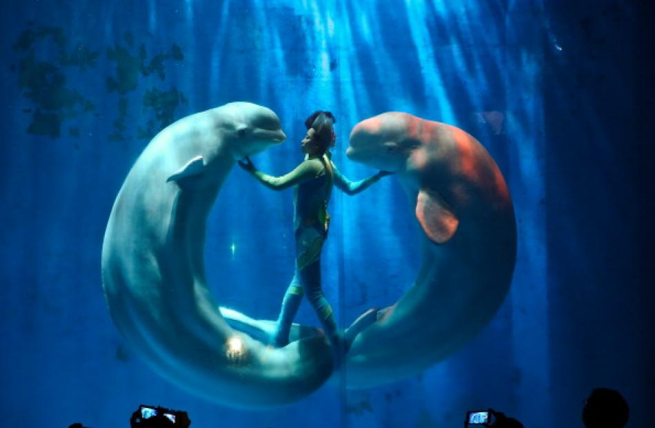 White whales and their trainers present a show for visitors at Harbin Pole Aquarium. (Photo by...