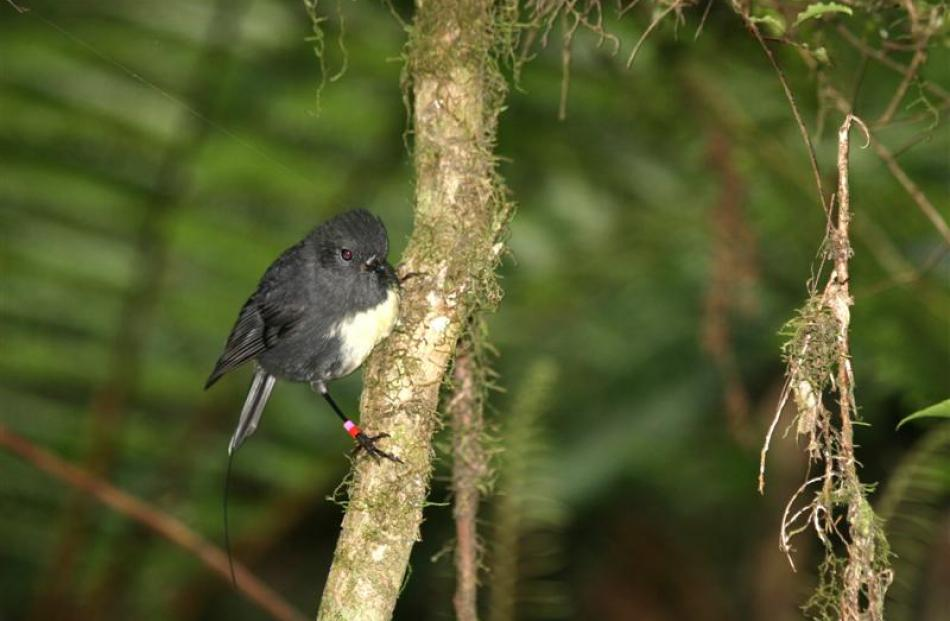 A South Island robin on Orokonui Ecosanctuary's valley track.