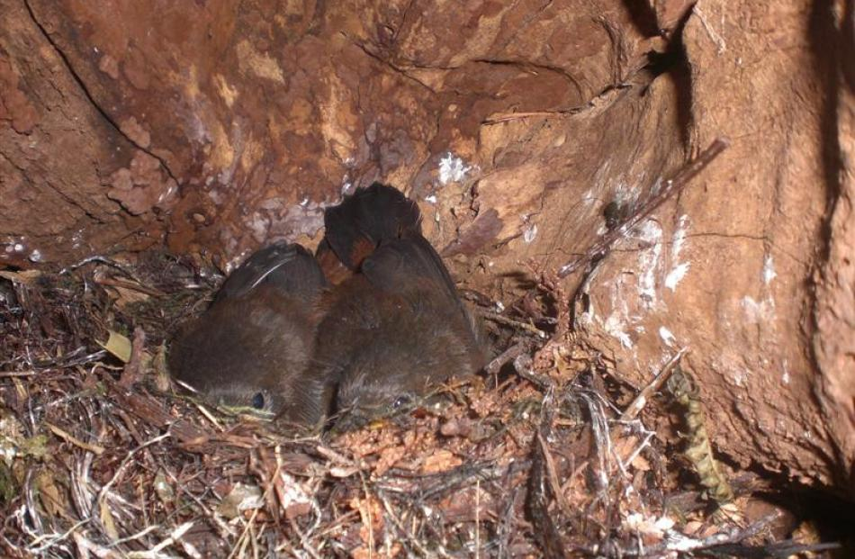 Saddleback chicks nest at Orokonui. Photos by Neville Peat/Supplied.