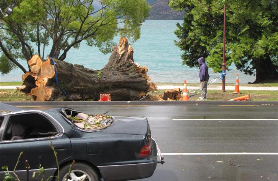 A man examines the remains of a large Lombardy poplar in Queenstown's St Omer Park yesterday. The...
