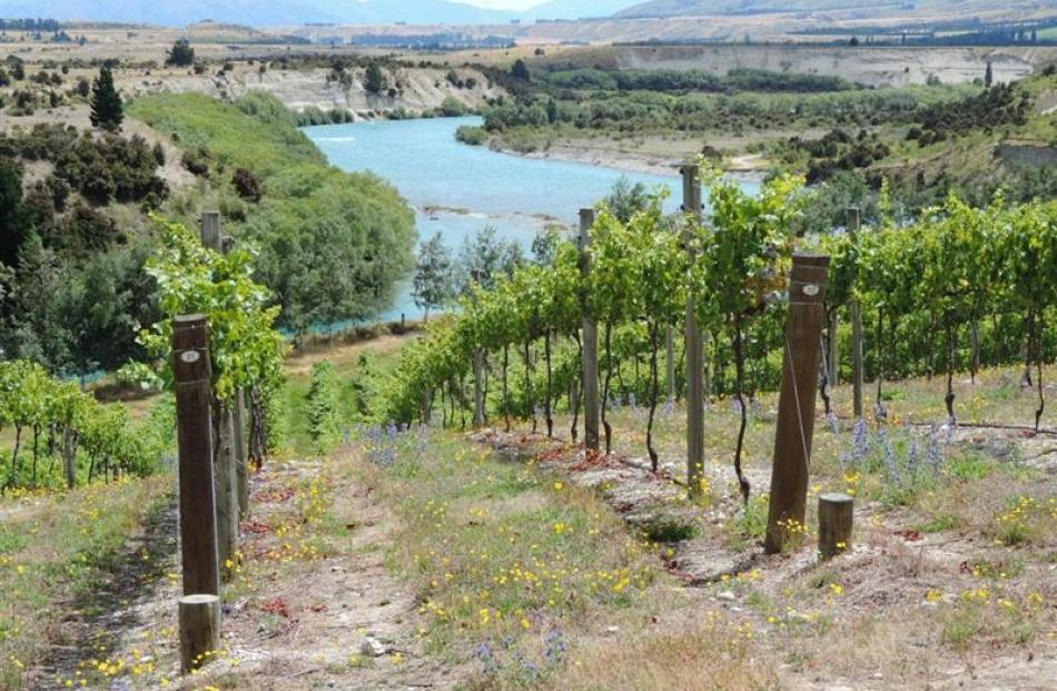 Swallows Crossing vineyard.
