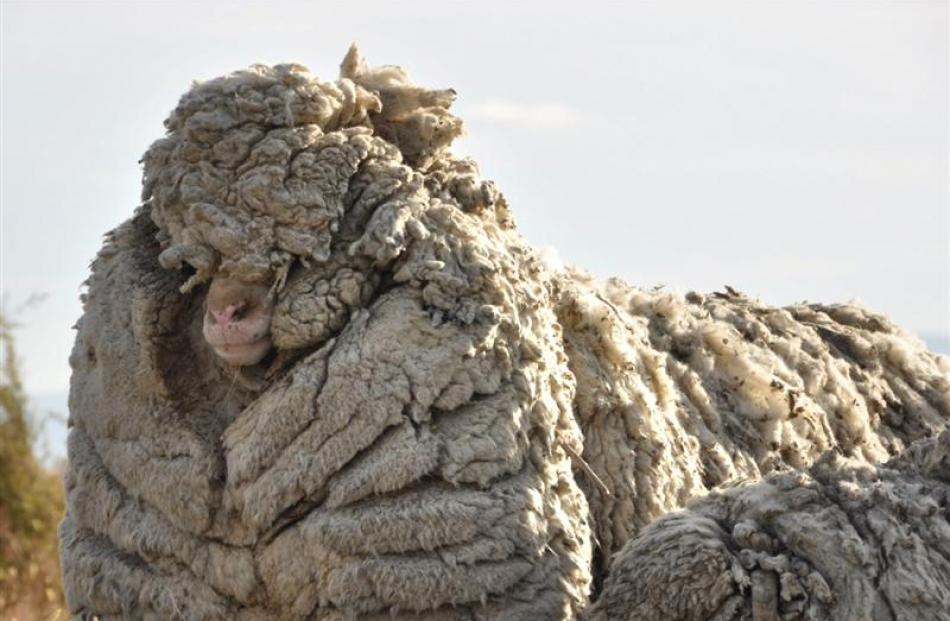 Merino wether Big Ben weighed 71kg before shorn of his 28.9kg fleece at Omahau Hill Station near...