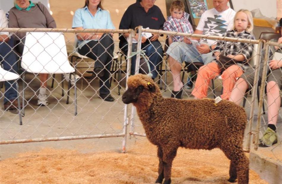 This ewe lamb was one of many passed in at the Black and Coloured Sheep Breeders Association of...
