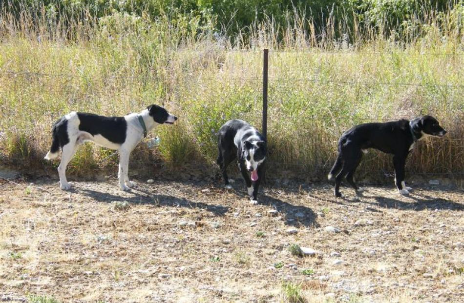 Dogs taking a break between events at the 100th Lowburn Collie Dog Club Trials on Friday. Photos...