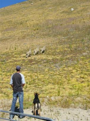 Duncan Campbell, of Earnscleugh Station, and his dog Bo watch the sheep on the course as they...