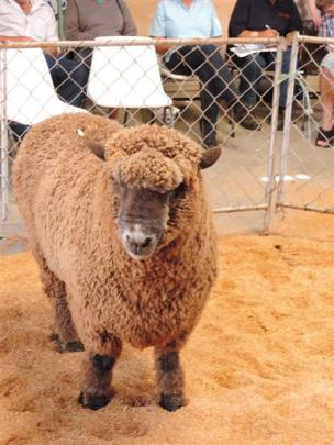 A Merino awaits its fate at the sale.