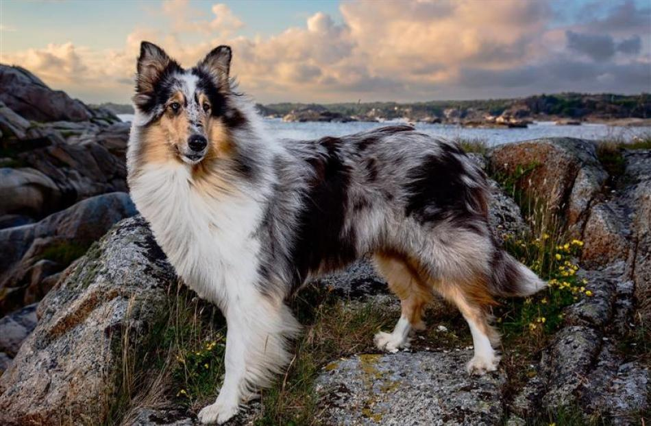 A rough-coated collie photographed in Norway.