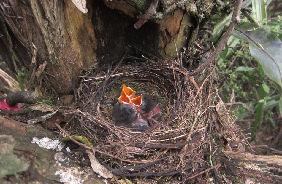 Robin nestlings.