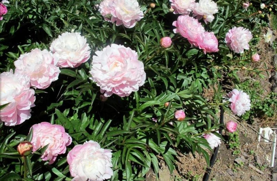 John and Jill Smith's My Pal Rudy peonies. Photo supplied.