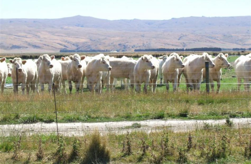 Rising 2-year-old Charolais heifers at Glen Ayr. Photos by Sally rae.