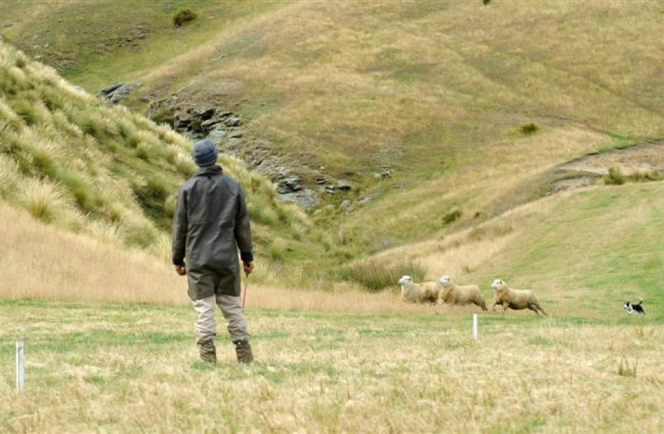 Cody Pickles, from Waipori Station, and his dog Gin work a trio of sheep towards the circle.