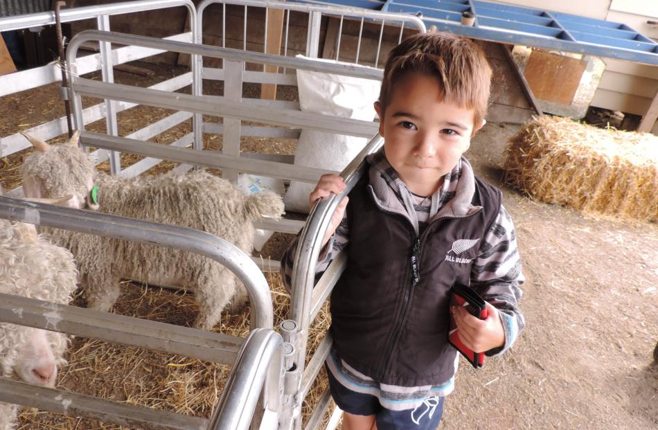 Kingsley Wells (5) of Geraldine was fascinated with the mohair  goats.