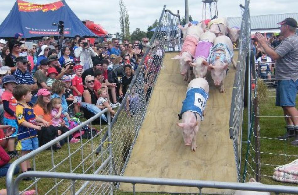 Pigs jostle for position as they come down the ramp when racing at the Mayfield Show. Photos by...