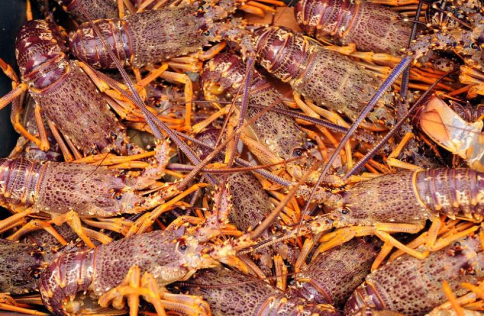 Crayfish exporters are feeling some of the pinch from from Chinese austerity measures to curb...