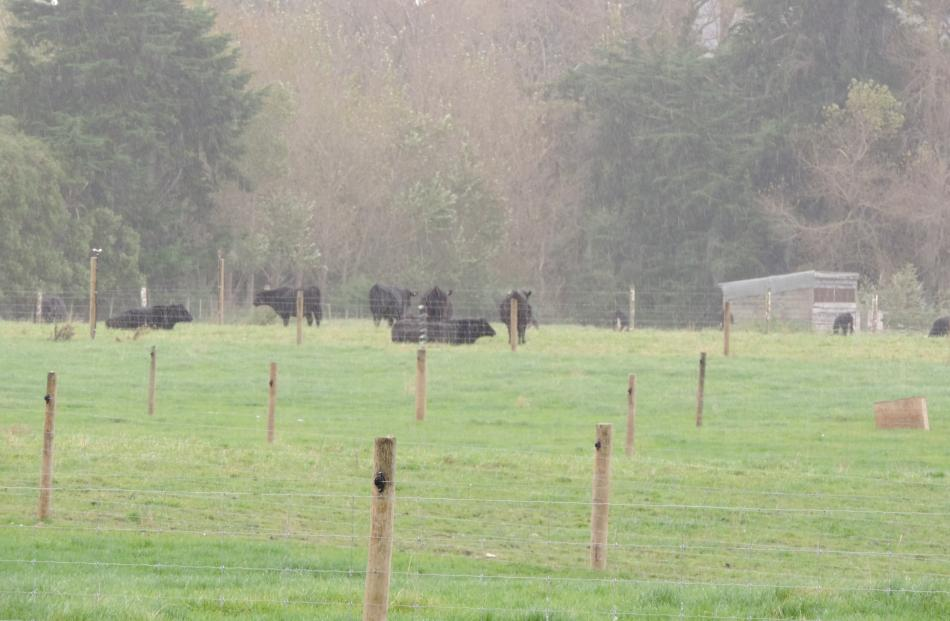 Cattle grazing at Fraser Farm were hand-reared as calves last autumn by Waitaki Boys' High School...