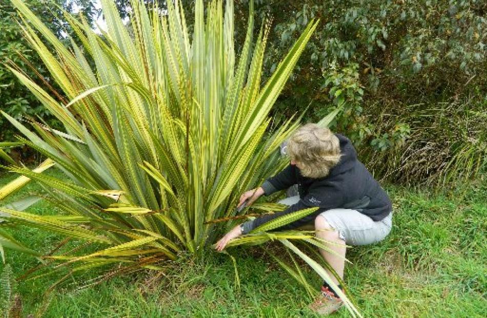 Anna Blackman harvesting flax.
