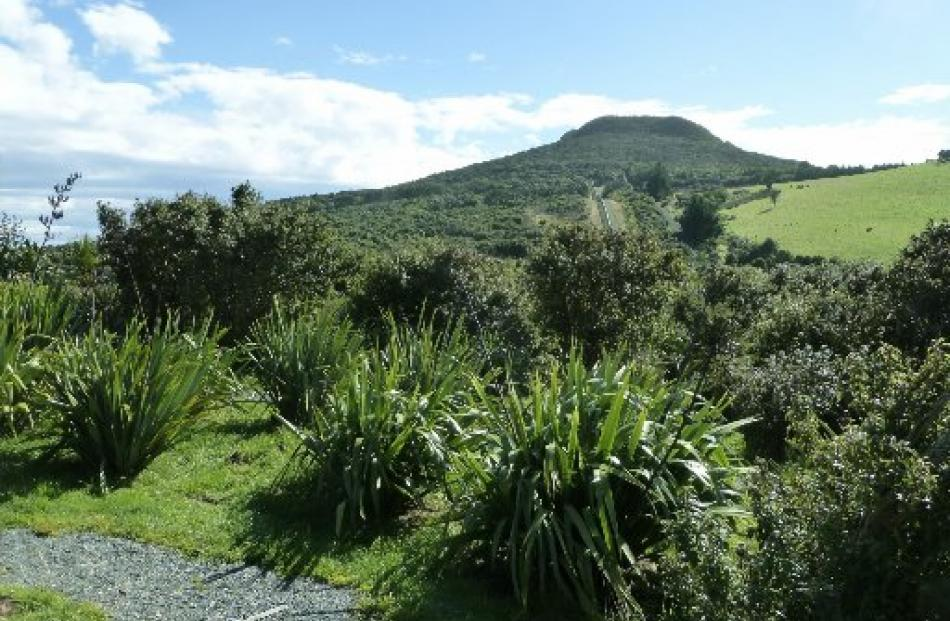 Looking across thriving flaxes to Mopanui.